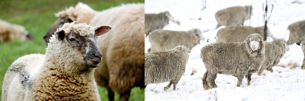 Merino sheep in the summer heat and winter cold