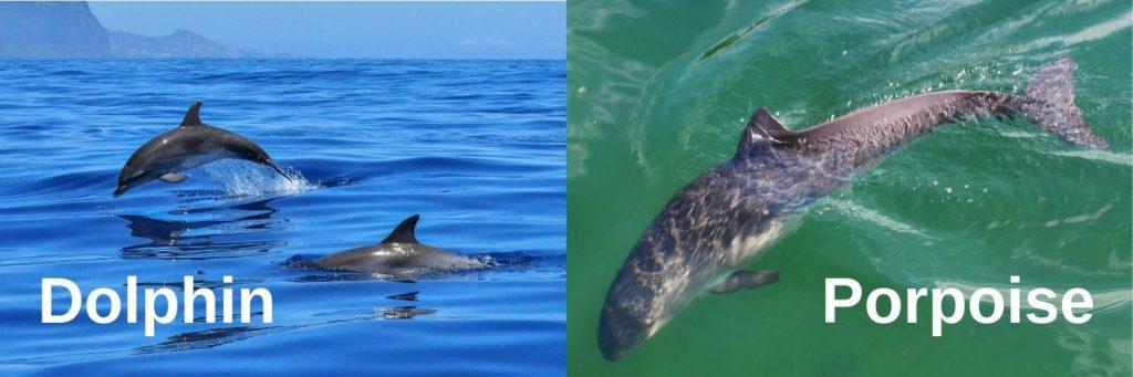 Porpoise vs dolphin