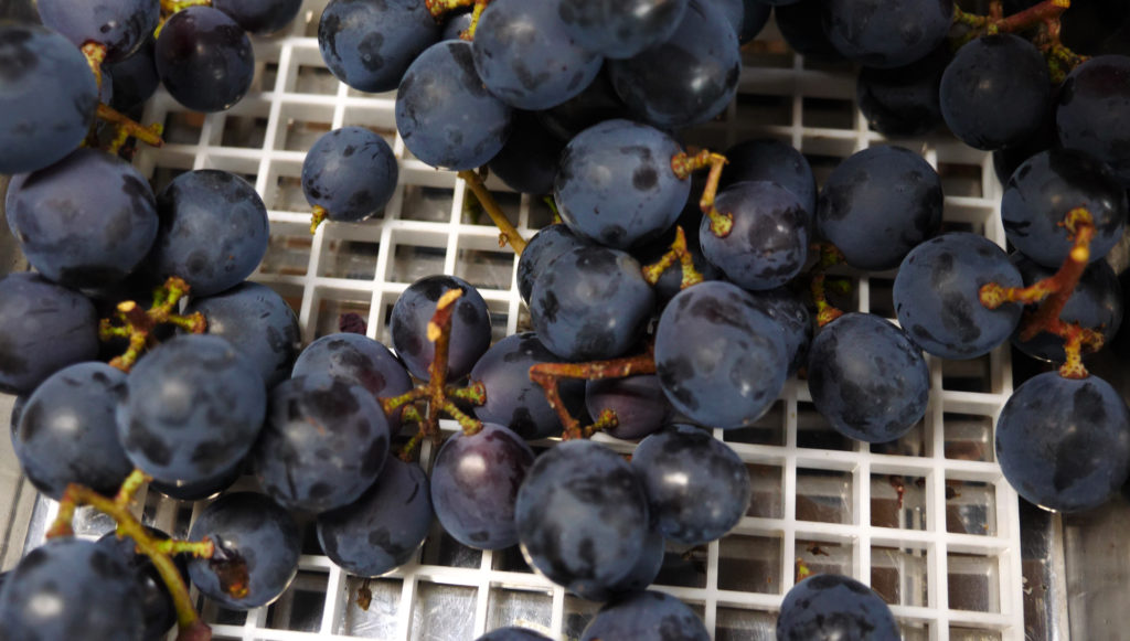 Muscat Bailey A grapes