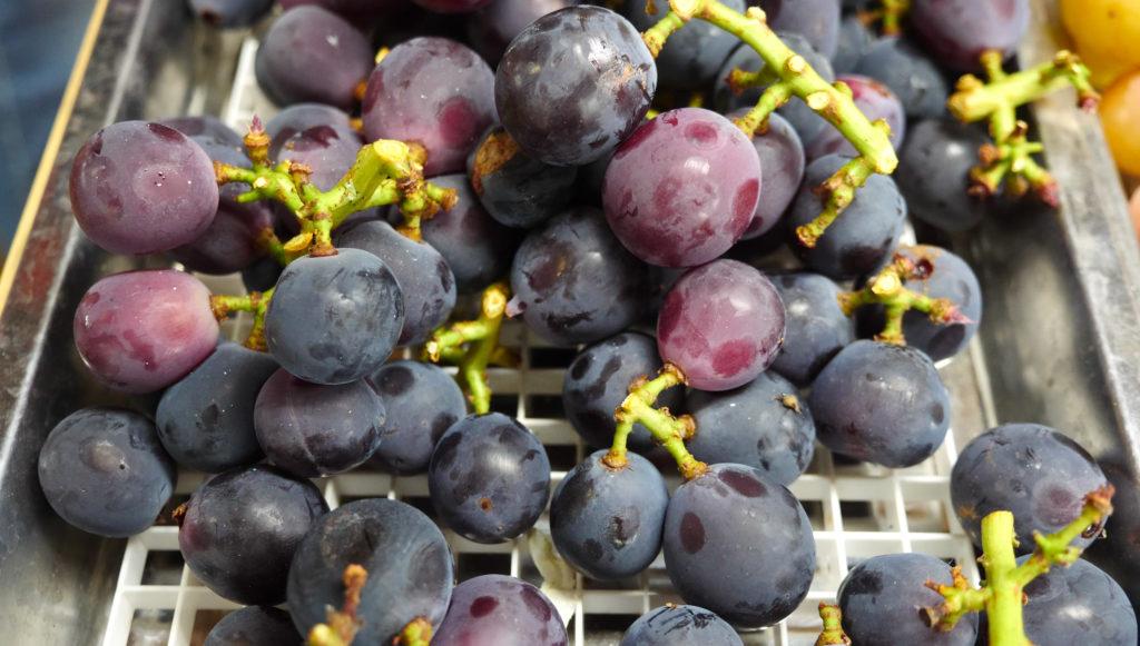 Pione grape