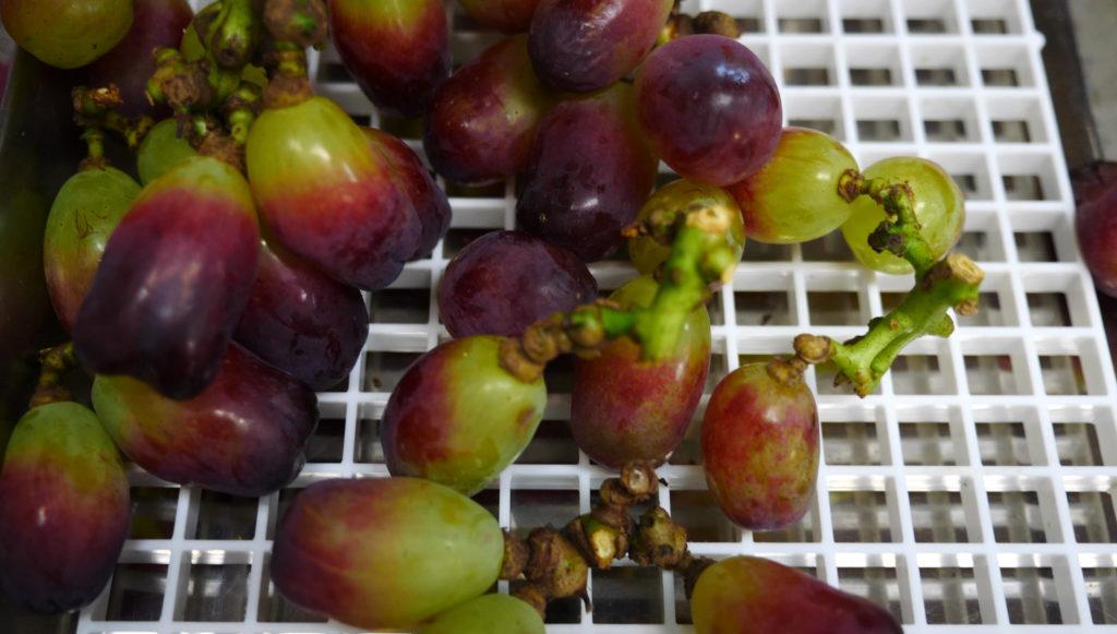 Wink grapes